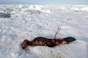 Las focas hembra alumbran sus cachorros en la costra helada que habitualmente debería cubrir amplias zonas del golfo de San Lorenzo a finales de febrero y principios de marzo. <p> Durante las primeras semanas, los cachorros son incapaces de nadar por lo que si caen al agua, su muerte es casi segura.