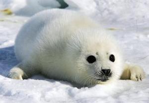 Las aguas del golfo de San Lorenzo, donde se lleva a cabo la caza de 325 mil focas, son distintas este año, con mucho menos hielo y menos de estos mamíferos, producto del invierno más cálido de la historia del país