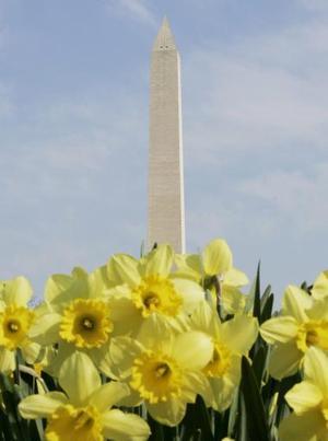 Durante el Festival Nacional de Floración que se lleva a cabo  en Washington cada año, se celebró  el nonagésimocuarto aniversario del original regalo de 3 mil cerezos por parte de la ciudad de Tokio al pueblo de Washington, en 1912.