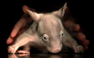 Una cría de wombat duerme entre las manos de un cuidador en el Dreamworld de Gold Coast, Australia. <p> Éste es el primer ejemplar de wombat nacido en cautiverio en Dreamworld en los últimos 10 años, y forma parte de un proyecto de cría e investigación del wombat común.