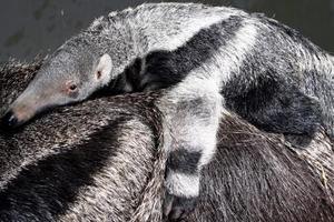 Cría de un oso hormiguero se agarra a la piel de su madre en el Zoo de Duisburg, Alemania.  <P> El pequeño oso hormiguero de seis semanas es noticia ya que el nacimiento de estos animales en cautividad es muy difícil.