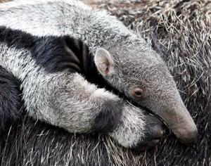 La cría de oso hormiguero yace tranquilamente en el lomo de su madre en el zoo de Dortmund, Alemania. El pequeño se llama Xerox y nació el pasado 7 de abril.  Es el oso hormiguero número 50 que nace en el zoo de Dortmund, que tiene el récord de cría de osos hormigueros.