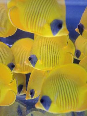 Peces de coral en venta en una tienda de mascotas en Hong Kong.  La mayoría de los peces de Hong Kong son importados desde Filipinas y se pescan usando cianuro lo que produce grandes pérdidas y arrasa los arrecifes de coral.