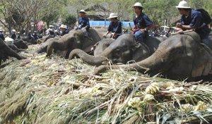 Después llegó la hora de la comida, en la que los elefantes consumieron alrededor de ocho toneladas de fruta.
