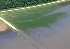 El cultivo de maíz en la localidad de Blairstown, Iowa, se ha visto afectado por la crecida del río Mississippi y por las lluvias continuas en el último mes.