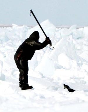 Rusia puso fin a la matanza de miles de indefensas crías de foca de Groenlandia, una práctica considerada medieval por el Fondo Internacional para el Bienestar de los Animales.