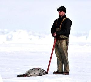 Los científicos demostraron que casi el 95 por ciento de las focas muertas a golpes durante los últimos seis años tenían menos de tres meses de edad.