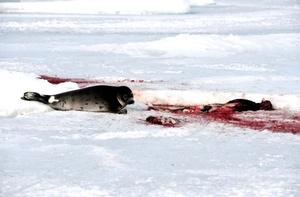 En 2007, las malas condiciones del hielo provocaron una elevada mortalidad entre las crías recién nacidas lo que obligó a las autoridades canadienses ha reducir el número de focas que podían ser cazadas.