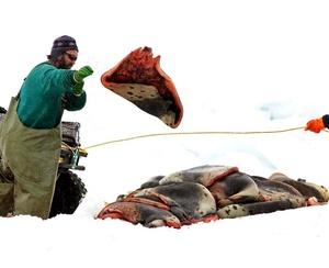 Las focas necesitan parir sobre hielo sólido para asegurar la supervivencia de sus crías que durante los dos primeros días no pueden nadar.