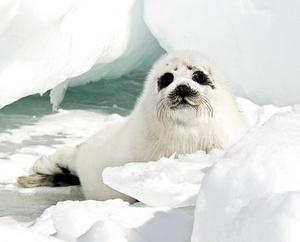 En las próximas semanas se procederá con otras cazas a lo largo de la costa atlántica canadiense hasta completar el cupo de 280 mil focas que las autoridades han determinado para este año.