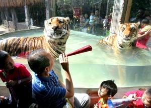 Según el calendario chino, el Año del tigre comenzará el domingo 14 de febrero de 2010 y terminará el 2 de febrero de 2011.