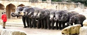Elefantes forman una fila para realizar sus ejercicios matinales en el zoo de Hannover, Alemania.