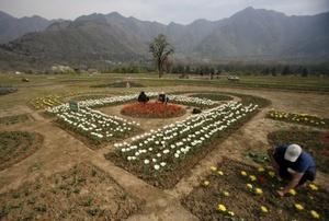 Las escarpadas montañas cachemires dominan el paisaje mientras jardineros musulmanes cachemires trabajan en un jardín de tulipanes en Srinagar. El gobierno local trata de mantener a los turistas alejados de la zona debido a la creciente violencia y confusión en que se encuentra sumida la región.