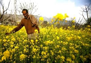 Un hombre cachemirí musulmán atraviesa un campo de mostaza a las afueras de Srinagar, la capital de verano de la zona de Cachemira administrada por la India, al atardecer.