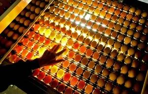 Huevos en una caja iluminada en una tienda al por mayor en Barneveld, en Holanda. Diez mil huevos se están cocinando cada hora para la próxima pascua. La tienda al por mayor Eicom espera vender un millón de huevos pintados.