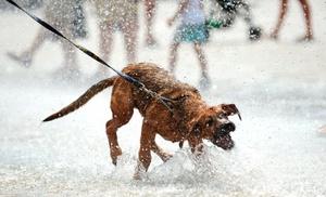 Un perro se refresca en una fuente de Breslavia, Polonia, durante un día en el que el termómetro ha alcanzado los 30º grados.