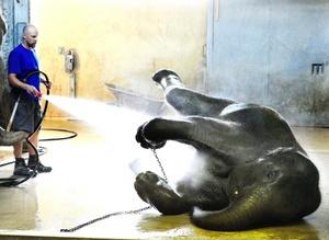La elefanta Chandra disfruta de una ducha de agua fría para combatir el calor en el zoo de Zúrich, Suiza. Las temperaturas alcanzan los 35 grados centígrados en Suiza.