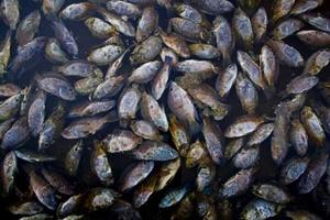 Tilapias muertas flotando en las aguas de Salton Sea.
