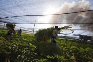 En la erradicación de este plantío trabajan al menos 200 soldados con la técnica de arranque de raíz e incineración en el propio lugar para evitar que la hierba retoñe.