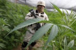Tan sólo en Baja California en los últimos 10 meses, el cártel de Sinaloa ha perdido en la lucha contra el narco y el crimen organizado al menos 250 toneladas de marihuana.
