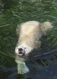 El oso polar Vitus se refresca en su recinto en el zoo de Budapest.