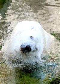 El oso polar Vitus se refresca en la piscina de su recinto en el zoo de Budapest, Hungría.