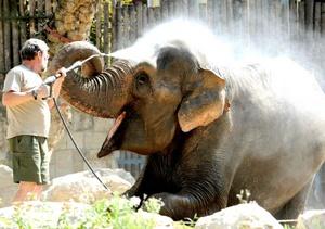 La elefanta asiática Hella es regada por un cuidador en su recinto en el zoo de Budapest, Hungría, por las altas temperaturas, debido a una ola de calor de origen africano.