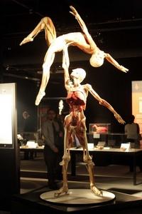 Las partes conservadas se preparan utilizando una técnica llamada plastinación para revelar las estructuras anatómicas internas.