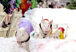 Lechones participaron en una carrera de obstáculos, en Klosters, Suiza. Esta particular competición se celebra anualmente con motivo del Año Nuevo.