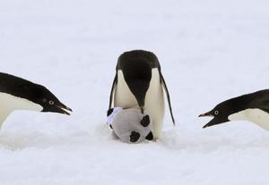 El 'instinto maternal' del pingüino adelaida, destaca ante la atenta mirada de dos 'camaradas'.