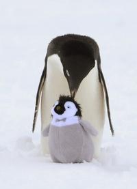 Un pingüino 'adelaida' cuida de un peluche puesto por los exploradores del rompehielos australiano Aurora Australis.