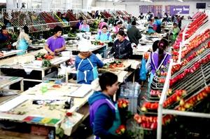 Sólo por el Día de los Enamorados,los floricultores colombianos realizan el 15 % del total de sus ventas anuales.