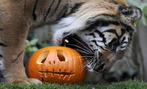 El Halloween llegó hasta el zoo de Londres, donde colocaron calabazas junto a los animales.