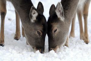 """Dos cervatillos buscan comida entre la nieve en el parque de la naturaleza """"Grafenberger Wald"""" en Düsseldorf, Alemania."""