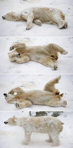 Combo de imágenes que muestra a un oso polar jugando en el nevado zoológico de Berlín, Alemania.