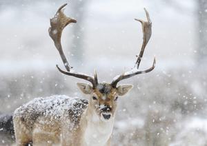 Un ciervo pasta en un campo nevado de Rrichmond Park, en Londres (Reino Unido).