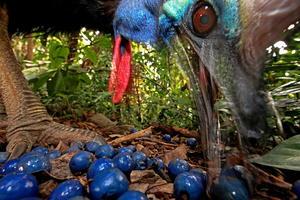 """Imagen tomada por el fotógrafo alemán Christian Ziegler el 16 de noviembre de 2012 en Black Mountain Road, Australia, que ha ganado el primer premio en la categoría de """"Naturaleza"""".   La imagen muestra un ejemplar de casuario común, especie en peligro de extinción, que se alimenta con la fruta de un árbol mármol azul en Black Mountain Road, Australia."""