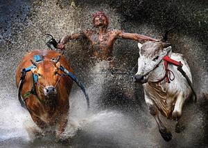 """Imagen tomada por el fotógrafo malasio Wei Seng Chen el 12 de febrero de 2012 en Sumatra Occidental, Malasia, que ha ganado el primer premio en la categoría """"Acción en deportes"""".  La fotografía muestra a un jinete participante en la carrera de toros Pacu Jawi en Batu Sangkar, Sumatra Occidental (Indonesia)."""