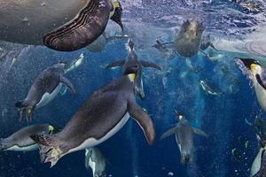"""Imagen del fotógrafo canadiense Paul Nicklen, de la revista National Geographic, en el Mar de Ross en la Antártida, el 18 de noviembre de 2011 y que forma parte de la serie """"Pingüinos Emperador, Mar de Ross"""" que ganó el primer premio en la categoría """"Historias de la Naturaleza"""".   La imagen muestra un grupo de pingüinos Emperador en el Mar de Ross, en la Antártida. El gran reto al que se enfrenta esta especie es la pérdida de superficie helada que sostiene sus colonia y su ecosistema."""