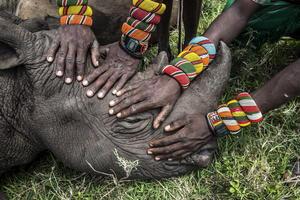 """La imagen """"Salvando a los grandes animales de África - rinoceronte huérfano"""" de la estadounidense Ami Vitale ganó el segundo premio en la categoría individual de Naturaleza."""