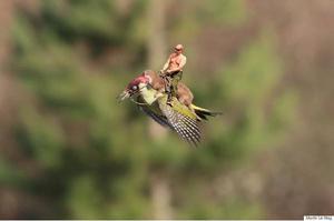 Vladimir Putin no podía faltar, antes un oso, ahora monta al pájaro carpintero.