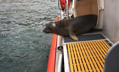 Una de las dos crías de foca elefante de 6 meses de edad, es liberada en la cubierta de un barco de la Guardia Costera en Smugglers Cove en la Isla Santa Cruz frente a la costa del sur de California.
