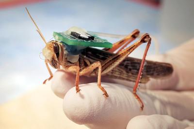 La Universidad de Washington en St. Louis presentó una langosta equipada con un dispositivo prototipo en etapa preliminar, con un electro implantado en el cerebro del insecto, que supervisará la actividad neuronal.