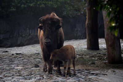 Fotografía cedida por el Zoológico de Chapultepec  de una hembra de bisonte americano que murió a causa de un golpe que le propinó otro bisonte de su grupo en Ciudad de México.