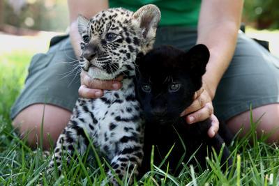 Andrea Czerny , empleado del Parque Zoológico de Ática, detiene a los bebé jaguares Lucky , izquierda, y Jucky en el interior del parque en Spata, al este de Atenas.