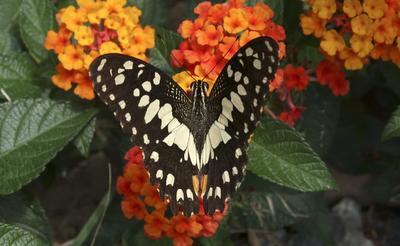 Una mariposa de la cal (Papilio demoleus) chupa el néctar con su trompa, que actúa como una paja de alimentación, de un arbusto Lantana camara floración en Khao Yai. Tailandia tiene más de 1.000 especies de mariposas.