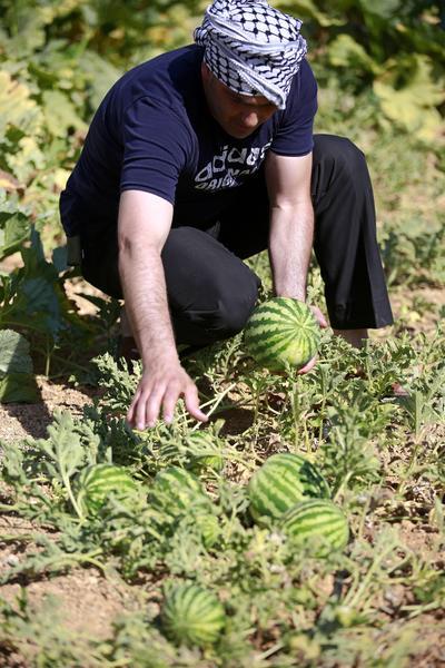 Un agricultor palestino cosecha sandía en su jardín en la ciudad cisjordana de Hebrón.