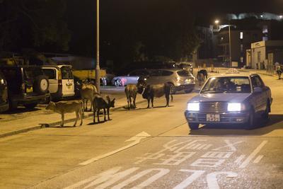 Fotografía disponible, de una calle en Tong Fuk, Lantau, Hong Kong (China) en la que se observan una vacas salvajes.