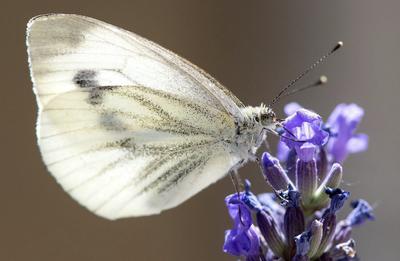 Una mariposa se posa en una flor de lavanda, en Múnich, Alemania.