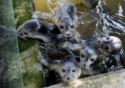 Esta fotografía muestra a pequeñas focas durante su hora de alimentarse en Norddeich, Alemania.